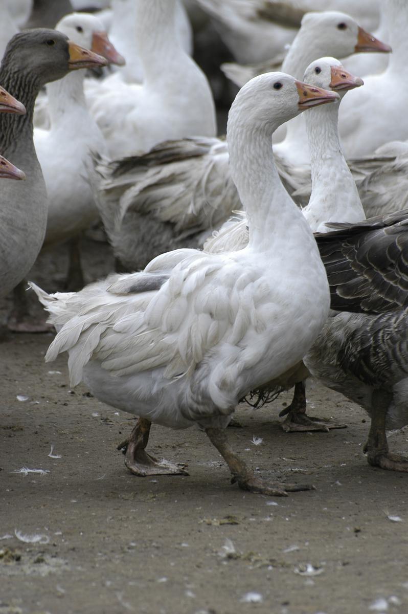 Goose breeds