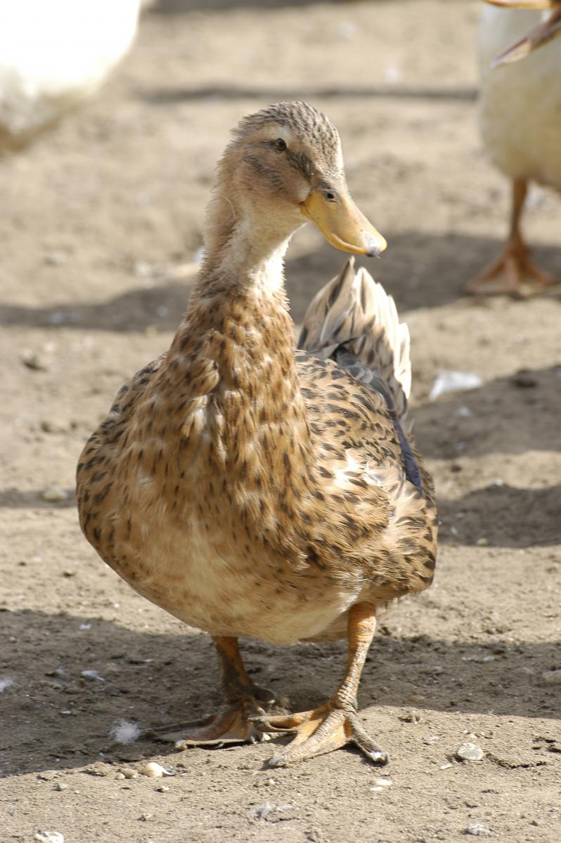 kacsa3 kacsa1 kacsa2 - Duck Breeds